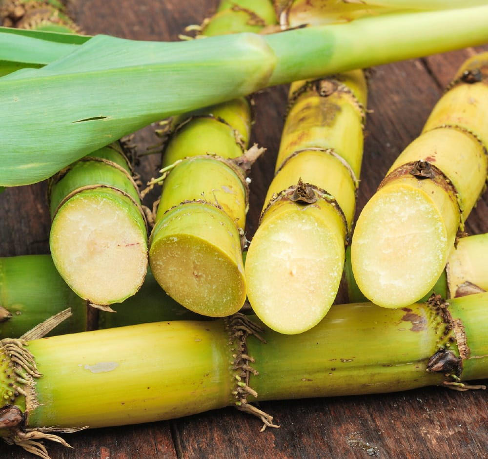 Polpa di canna da zucchero (Bagassa)